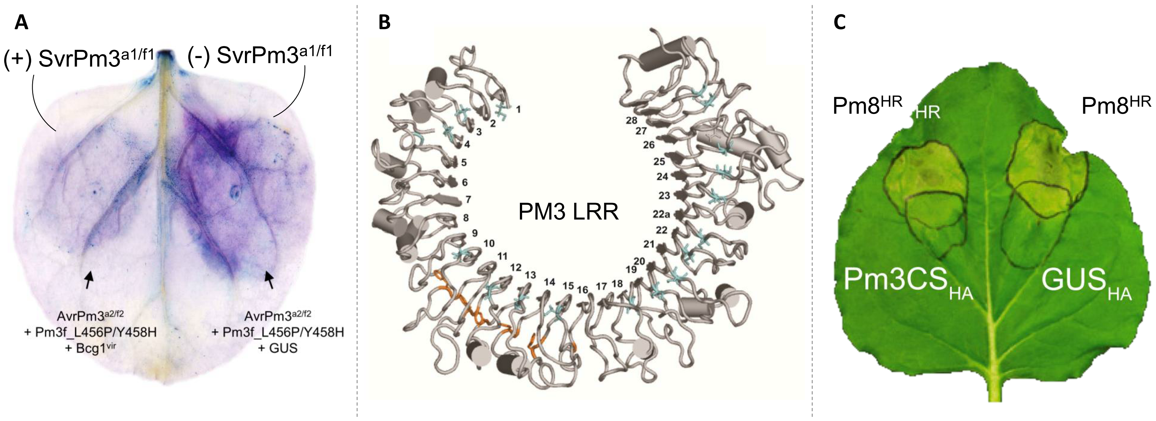 (A) Suppression of the AvrPm3a2/f2-Pm3f mediated hypersensitive cell death response (revealed by Trypan blues staining) in presence of the SvrPm3a1/f1 suppressor; (B) 3D computational modelling reveals a horse-shoe structure of the leucine-rich-repeats (LRR) region of the PM3 resistance protein; (C) Suppression of the hypersensitive cell death response mediated by the auto-activated Pm8 resistance gene in presence of the susceptible allele of the Pm3 resistance gene (Pm3CS).